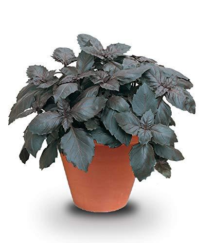 100 graines Aromatiques - BASILIC Pourpre - Ocimum basilicum purpurascens