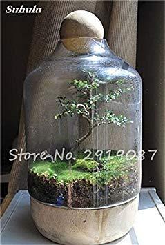 100 Pcs rares mousse verte Graines exotiques Graines Bonsai Moss Belle Moss Boule décorative Jardin créatif herbe Graines Plante en pot 5