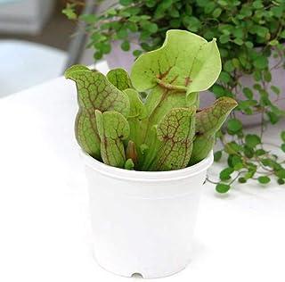 (食虫植物)サラセニア プルプレアSSPベノーサ 3号(1ポット) [生体]