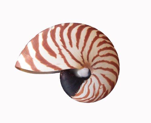 Nautilus Muschel - Perlbot - natur- 8-10 cm - Muscheldeko/Dekomuschel