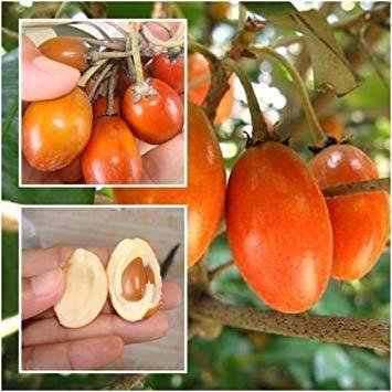 FERRY Keim Seeds: Madhuca Esculenta Samen, Odilla, Lamut SIDA, Fruchtsamen, einzigartige