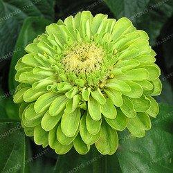 25 Couleurs Zinnia Graines Plantes vivaces à fleurs en pot Charme chinois Fleurs Graines 100 Pcs / Paquet Superbe Blooms Balcon 15