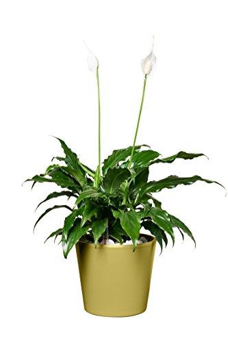 EVRGREEN |Zimmerpflanze Einblatt in Hydrokultur mit weißem Topf als Set | Friedenslilie |Spathiphyllum hybriden