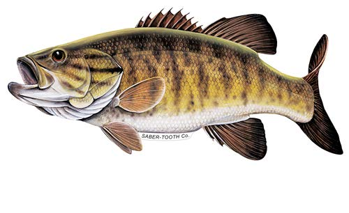 Smallmouth Bass Decal/Sticker Fresh Water Fish Collection (Small-7 X 3-Facing As Shown)