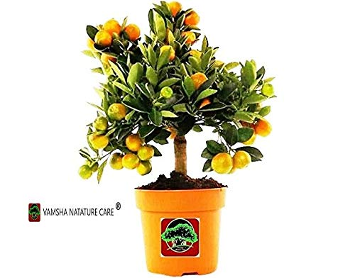 Vamsha Nature Care Live Dwarf Orange Plant Tangerine(Santra) Origin Darjeeling