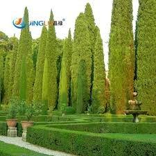 50 Samen/Packung Seltene Baumsamen Italienische Zypresse (Cupressus sempervirens) Baum, Bonsai-Baum für Blumentopf Pflanz