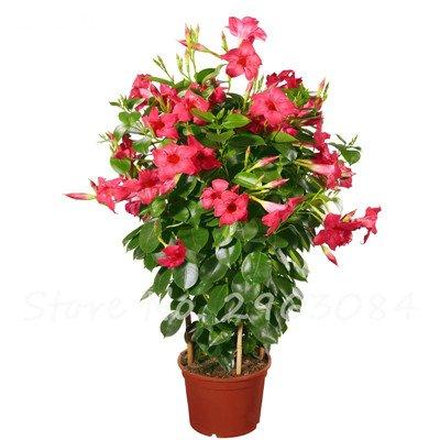 50 PC/bag Rare Dipladenia sanderi Samen Stauden Kletter Mandevilla sanderi Blumen im Freien Zier Bonsai Gartenpflanze 14