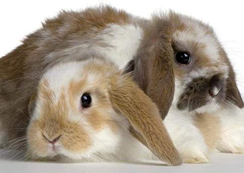 Juego educativo de rompecabezas de 1000 piezas para adultos y niños de 50 * 75 cm,Dos conejos holandeses 27 x 19.7 ilustraciones de juegos de rompecabezas grandes para adolescentes que juegan en el h