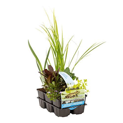6er Pflanzkorb Set | Teichpflanzen winterhart Set | Sauerstoff Teich | Wasserpflanzen Miniteich | Höhe 20-30 cm