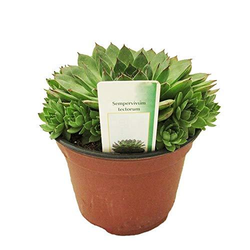 Siempreviva Mayor Sempervivum Tectorum en Maceta Pequeña Crasa Planta Natural