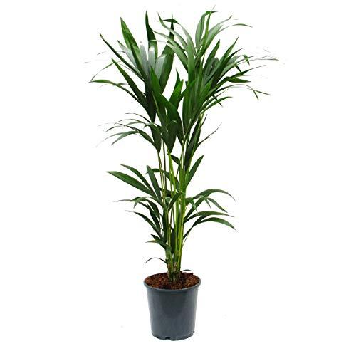 Kentia Palm, Howea forsteriana, 24cm, approx. 140cm high