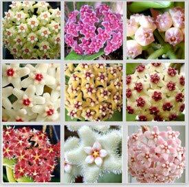100pcs/sac Vente Hot arc Hoya Rare Graines Outdoor Blooming Bonsai plantes en pot de fleurs Maison et Jardin Livraison gratuite 1