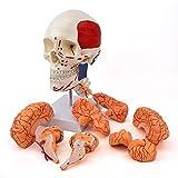 Modello Di Cervello Del Cranio Umano Con Vertebra Cervicale, Teschio Di Scheletro A Testa A 3 Parti E Modello Anatomico Cerebrale A 8 Parti, Con Marcatura, Colore Del Muscolo Di Colore E Punti Finali