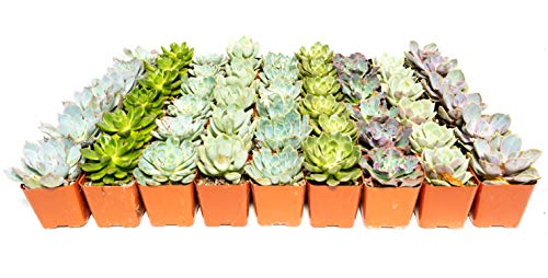 Succulent Rosette Pack- Perfect for Weddings, Party Favors, Social Events, and Gardening (75 Pack)