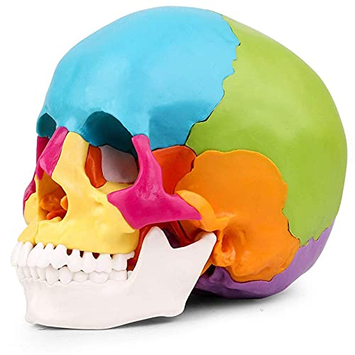 LBYLYH Plantilla de anatomía del cráneo Humano, Plantilla de cráneo Humano Pintado, Tamaño de cráneo de plástico Colorido D'22 OS para el Curso de Estudio de anatomía Humana en Medicina