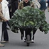 VISA STORE Chou Graines de légumes russes (100) + ica Graines