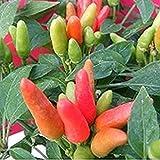 発芽種子:50 - 種子:NuMex中国の旧正月唐辛子の種 - コンテナ、ポット、パティオなどのために