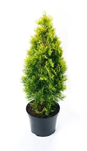 Lebensbaum Golden Smaragd® im Topf/Container Größe 60 bis 80 cm