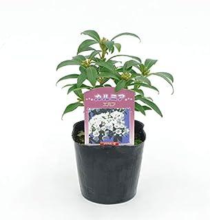 (株)赤塚植物園 ① カルミア 3.5号苗 エルフ 苗
