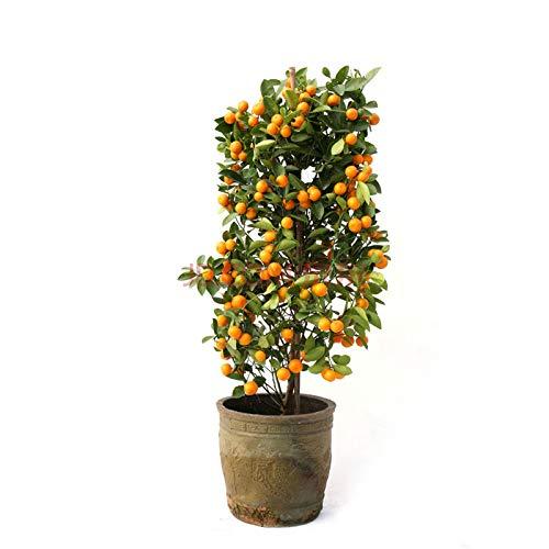 LIANA IRWIN Orangenbaum Samen Balkon Bonsai - 30pcs,Garten im Freien Obst Pflanze Samen