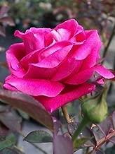 Pink Don Juan Fragrant Climber Rose Shrub 1 Gal. Live Plant Roses Zone 6-9 NOW!