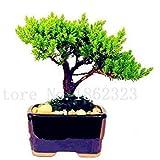 bonsai 50 pc giapponese ginepro bonsai starter albero juniperus procumbens nana pianta in vaso per la casa e il giardino facile da coltivare: 7