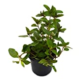 Menta Piperita 10cm Planta Natural en Maceta Menta Piperita
