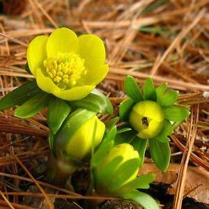 SANHOC Samen-Paket: 10 Winterlinge-Winterling-EARLY FLOWERING-Hardy- mit Schneeglöckchen-KROKUS-BELL-rockery-LAND-GARDENSEED