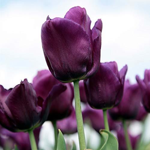 Bulbes de tulipes pourpres vivaces à planter - Plantes de bonsaï pour balcon à la maison. (5)
