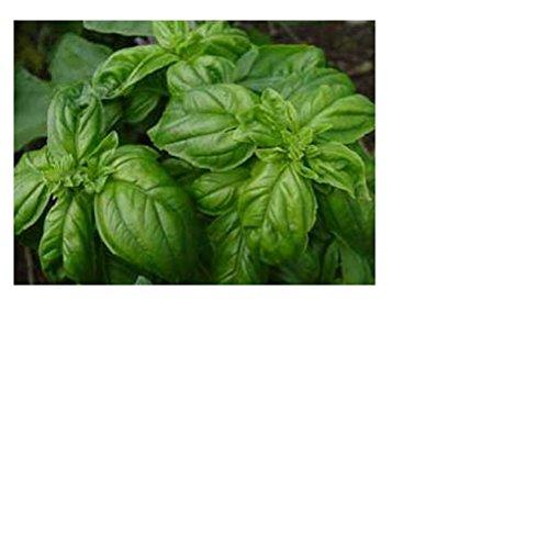 Lot de 50 Graines BIO basilic vert ITALIEN plante Aromatique Potager