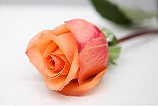 Colorful Rose hep Flower Seeds for Home Garden Yard Decoration, 50 Seeds (Holiday Princess Rose Seeds)