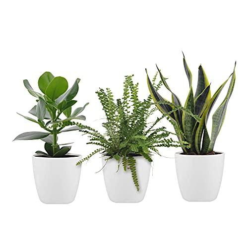 3x Mix Trendige Pflanzen für das Schlafzimmer   Clusia rosea, Nephrolepis, Sansevieria trifasciata   Grüne Zimmerpflanzen   Höhe 20-40cm   Inkl. Topf ELHO weiß Ø 14cm