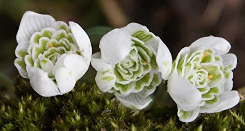 10 Schneeglöckchen Knollen Galanthus Nivalis Flore Pleno (gefüllte Schneeglöckchen)
