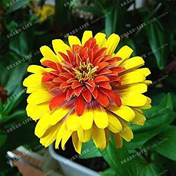 VISTARIC 13: 100 Pcs Clematis Graines de plantes Belle Paillage Graines de fleurs Bonsai ou un pot de fleurs vivaces pour jardin Mix Couleurs 13