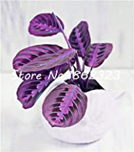 50Pcs Calathea Seeds Foliage Seeds Variety Complete The Budding Rate 95% Four Seasons Seeds Ing Easy to Grow : 365016
