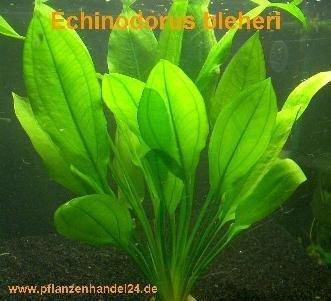 10 x Echinodorus Bleheri, Wasserpflanze, barschfest