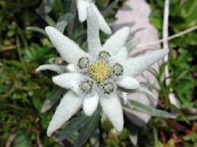 50+ Edelweiss Bodendecker/Perennial Blumensamen