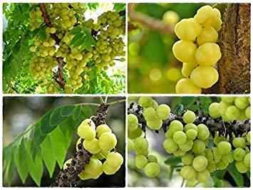 Potseed Keimfutter: 150: Neu !! Seeds Stachelbeerbaum Stern Stachel EUPHORBIACE. Seltene Chittra Garten