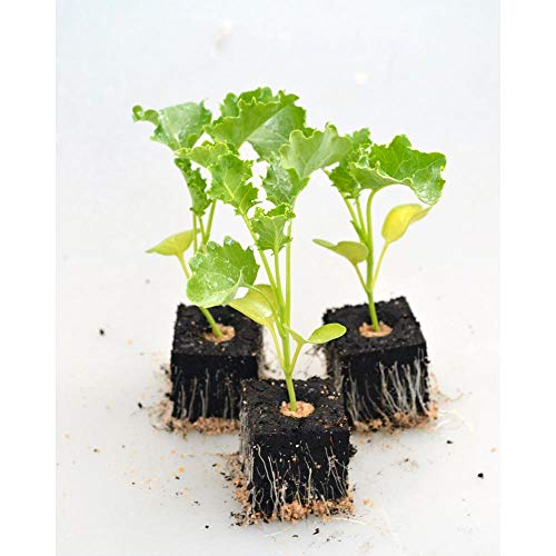 Gemüsepflanzen - Grünkohl - Brassica oleracea var. sabellica - 12 Pflanzen