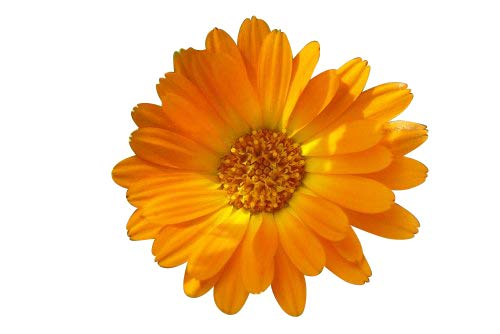 250 Samen **Ringelblume** -Calendula officinalis- -Heilpflanze/Ölgewinnung/Salben-
