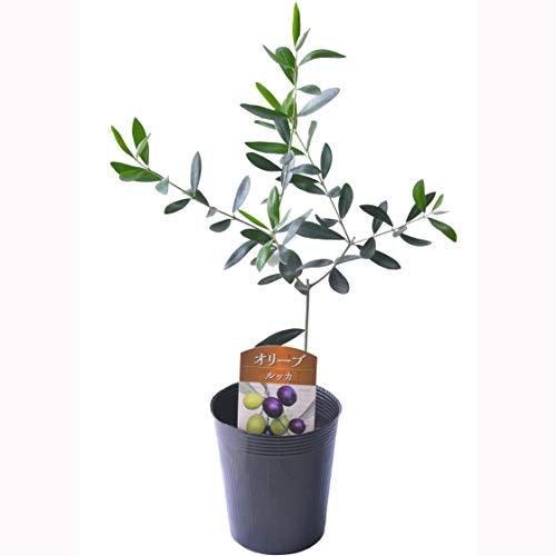 花のギフト社 オリーブ 苗 オリーブの木 鉢植え 3.5号鉢 (ルッカ)