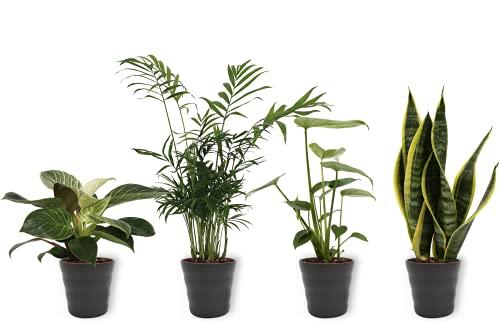 4er Set Zimmerpflanzen - Sansevieria, Philodendron, Monstera & Chamaedorea - Zimmerpflanze im schwarzen Übertopf- Höhe +/- 25cm inklusive Topf - 12cm Durchmesser (Topf) - Luftreinigend - 4 Stück
