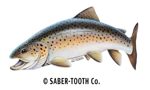 Find Bargain Saber-Tooth Co Brown Trout Fish Decal Sticker ~ Fishing & Wildlife Series