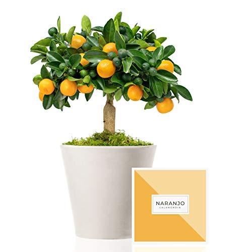 Naranjo Enano Calamondin 38 cm en maceta de 16 cm diámetro entregado en caja de regalo con tríptico con información y guía de cuidados – Planta viva interior – Árbol frutal enano en maceta