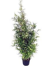 Bambú Negro Phyllostachys Nigra Grande 125cm Planta Natural
