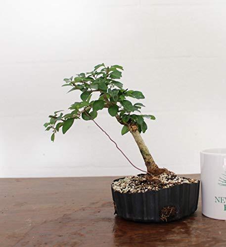 Bio-Saatgut Nicht nur Pflanzen: Bonsai, Papageienschnabel, Seed Bonsai, MIT DER FäHRE
