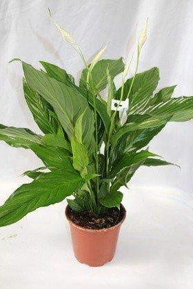 Spathiphyllum o espatifilio (Maceta 17 cm Ø) - Planta viva de interior