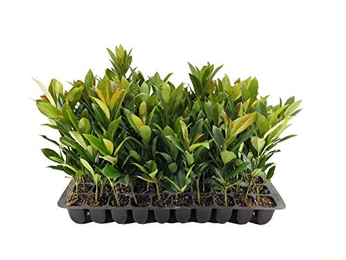 Japanese Blueberry Tree - 10 Live Plants - Elaeocarpus Decipiens - Evergreen Privacy Screen