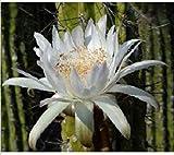 PLAT FIRM Freh Tetonia coryne (Zahnstocher CACTU argentinischen kolumnare Cacti Rare Seed) 20 Seed -