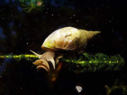 AquaLife UK 2x Great Pond Snail Eats Algae Fresh Cold & Tropical Aquarium (Lymnaea Stagnalis)